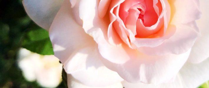 Rosen im Herbst pflanzen